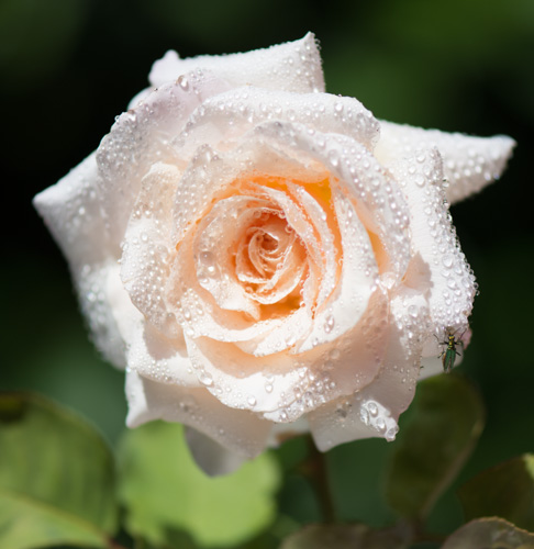 Perles de rose @Cjy