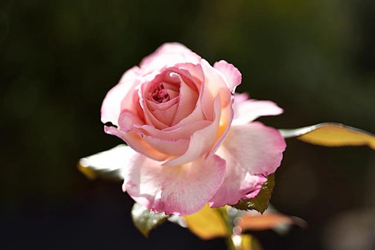Une rose en hiver